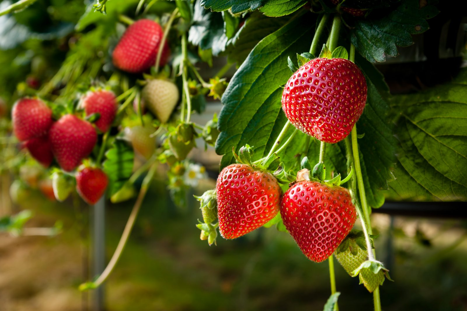 Un début de saison tardif pour les producteurs de fraises et framboises