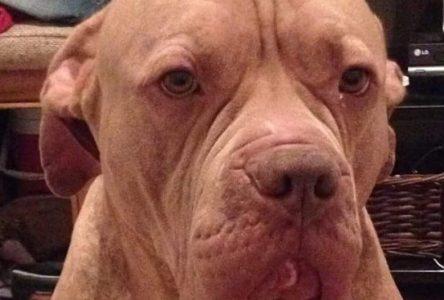 Demande d'euthanasie de deux pitbulls : la cause reportée au 13 septembre
