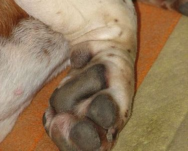 Le Chenil des Voltigeurs cède 13 chiens à la SPCA
