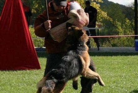 Les plus beaux bergers allemands au pays en compétition