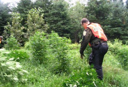 Opération boutures : 11 500 plants de cannabis ont été saisis