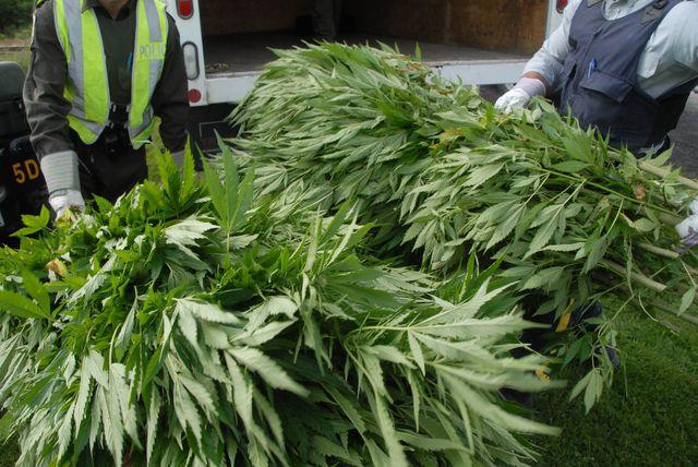 La Sûreté du Québec poursuit l'éradication de plants de cannabis