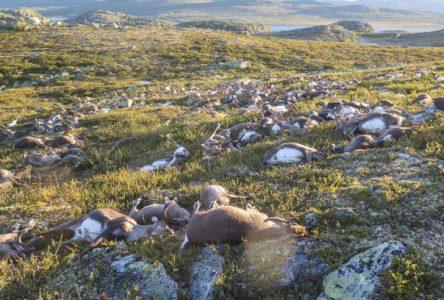 La foudre tue 300 rennes en Norvège