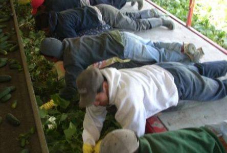 Un des rares producteurs de concombres à survivre dans la région