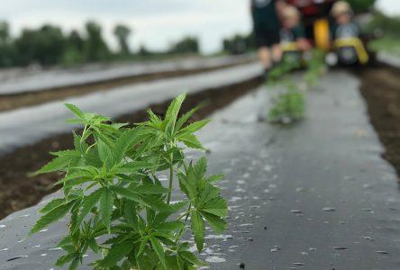 La Feuille verte marque l'histoire, un plant de cannabis à la fois