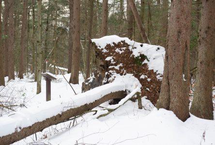Arbres tombés : «Un bon coup de pouce à la biodiversité»