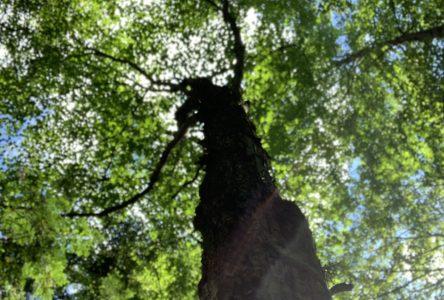 Drummondville plantera 500 arbres en 2021
