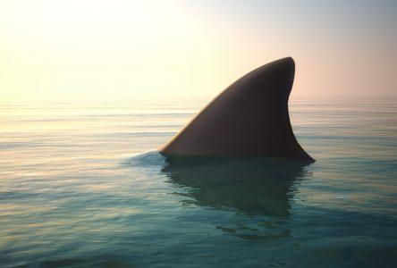 Requins en instance de disparition