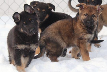 Les futurs chiens de la GRC se cherchent un nom