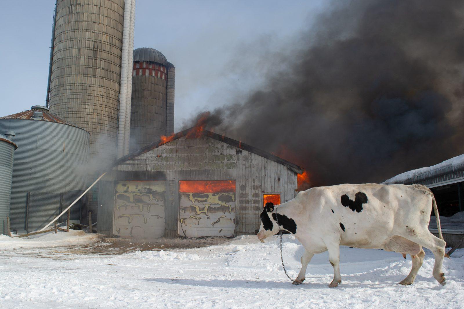 Des vaches et des veaux sauvés d'un incendie (photos/vidéo)