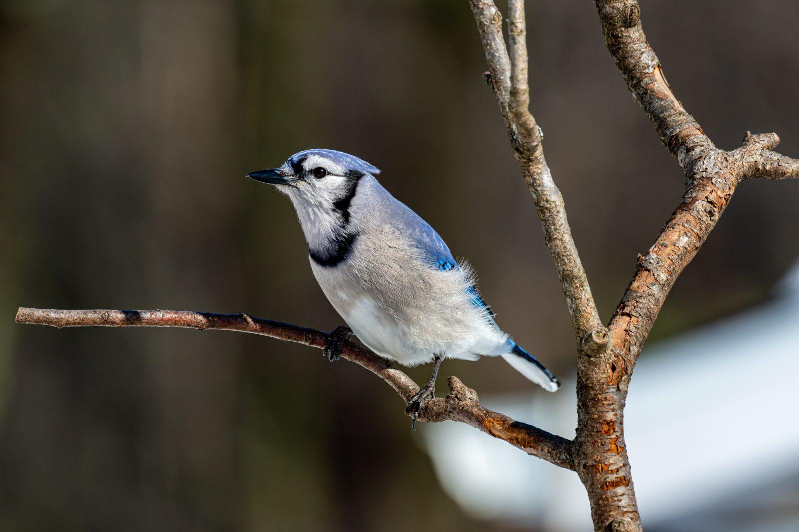 Le geai bleu, l'oiseau de tous les qualificatifs