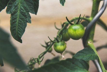 Des bris de plants signalés dans les jardins communautaires et collectifs